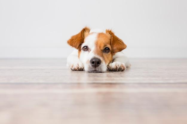 Retrato de un lindo perro pequeño tirado en el piso. sentirse cansado o aburrido. mascotas en interiores, hogar, estilo de vida. Foto Premium
