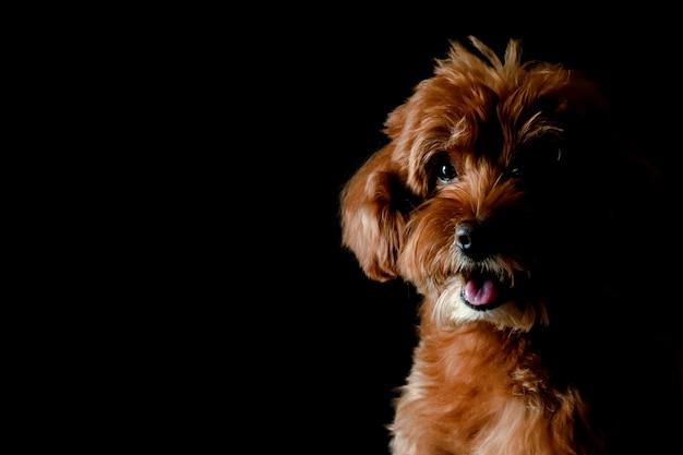 Retrato parcial del perro marrón adorable de toy poodle que mira y que sonríe a la cámara aislada en fondo negro. Foto Premium