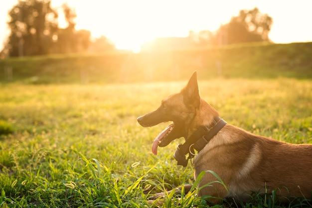 Retrato de perro entrenado esperando el comando en el parque Foto gratis