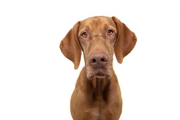 Retrato perro sabueso vizsla perro aislado en blanco Foto Premium