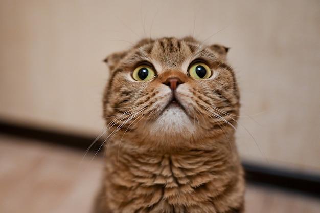 Retrato del primer del gato del doblez del escocés con los ojos amarillos. hermoso gato atigrado de pelo corto Foto Premium