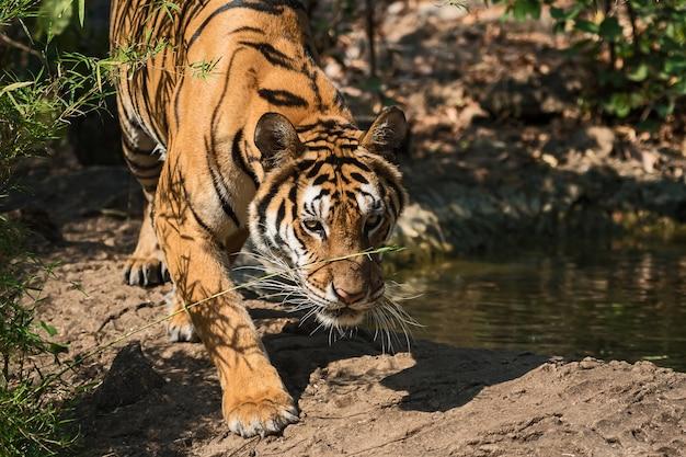 Retrato de tigre. Foto Premium