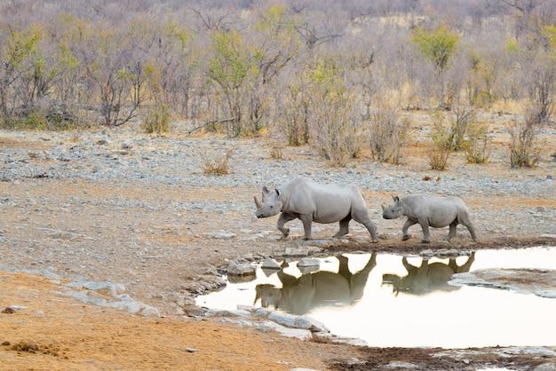Rinocerontes negros raros bebiendo del abrevadero al atardecer. Foto Premium