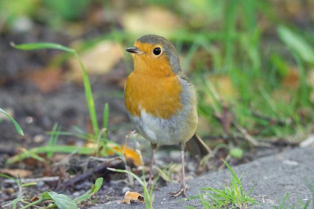 Robin sobre hierba Foto Premium