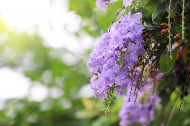 Rocío dorado gota flores de color púrpura con efectos de luz en el fondo de la naturaleza Foto Premium