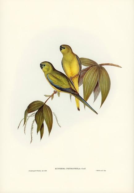 Rock grass-parakeet (euphema petrophila) ilustrado por elizabeth gould Foto gratis