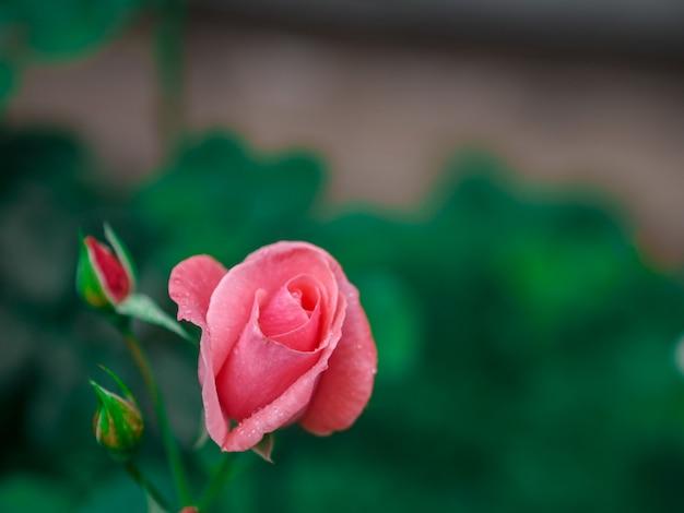 Rosa fondos para el dia de san valentin Foto Premium