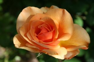 rosa hermosa, bella Foto Gratis