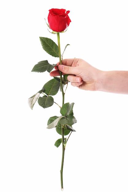 Rosa roja en las manos Foto gratis