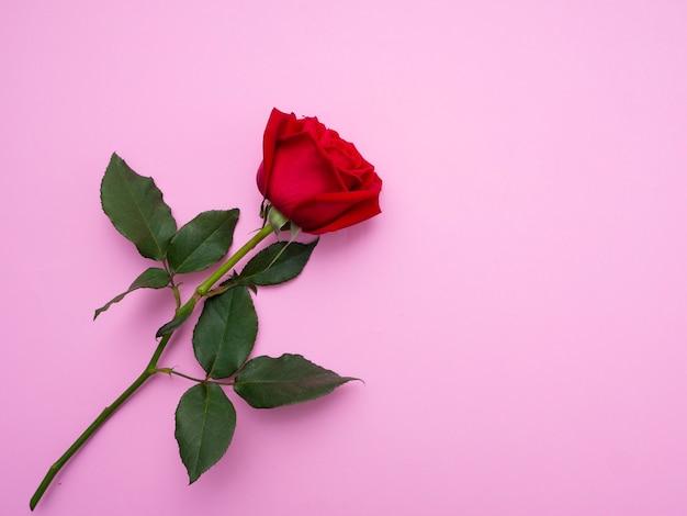 Rosa del rojo aislada en fondo rosado. Foto Premium