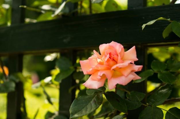 Rosa rosa en el jard n descargar fotos gratis for Jardin rosa alcoy