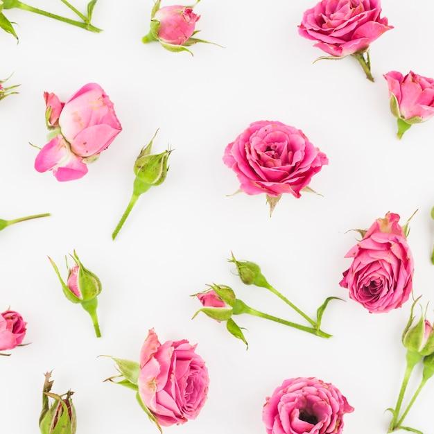 Rosas y capullos sobre fondo blanco   Descargar Fotos gratis