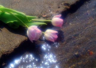 rosas de color rosa, de tierra Foto Gratis