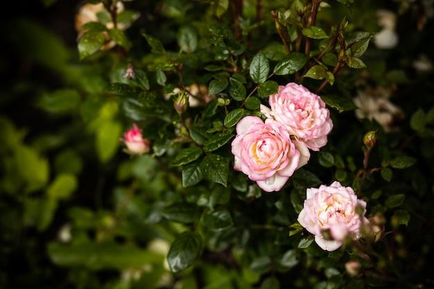 Rosas en el jardín. arbusto de rosas pálidas rosadas sobre ...