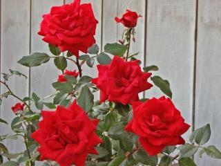 rosas rojas, el amor Foto Gratis