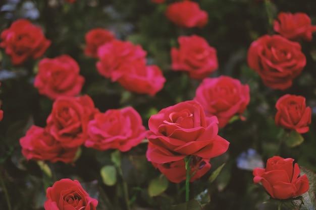 Rosas rojas que florecen en el jardín de fondo o textura   Descargar ...