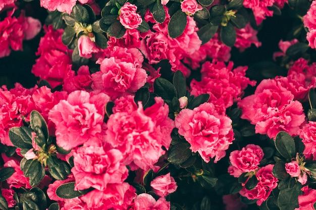 Rosas rosadas en fondo de flores Foto gratis
