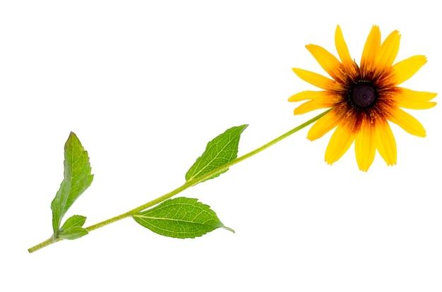 Rudbeckia verano flor amarilla aislada sobre fondo blanco Foto Premium