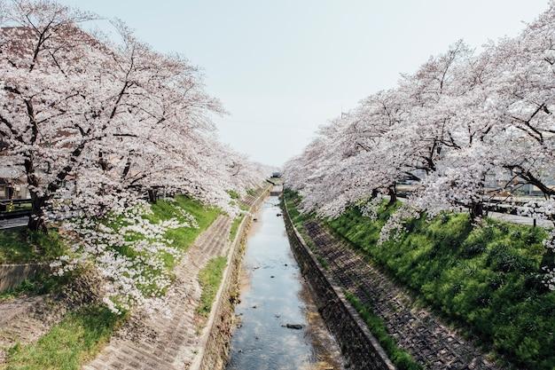 Sakura arbol y canal en japon Foto gratis