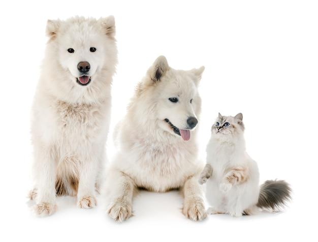 Samoyeds y birman cat Foto Premium