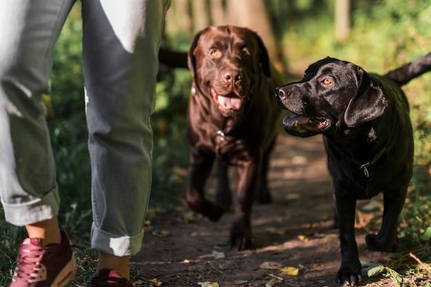 Sección baja de una mujer caminando con sus dos perros en el bosque. Foto gratis