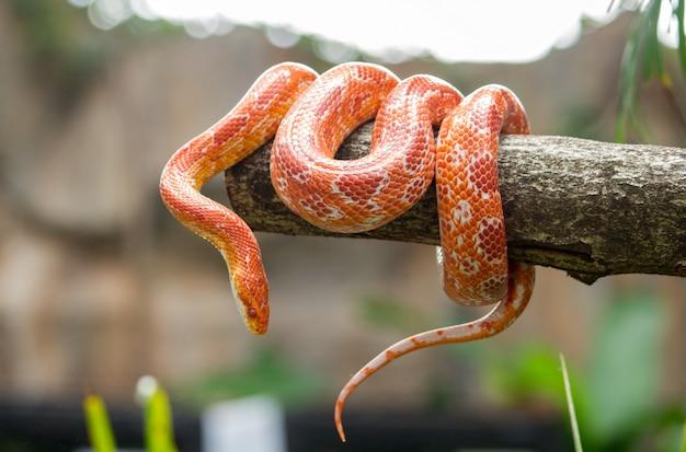Serpiente de maíz en una rama Foto Premium