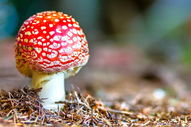 Seta agárico de mosca roja o toadstool en la hierba. Foto Premium