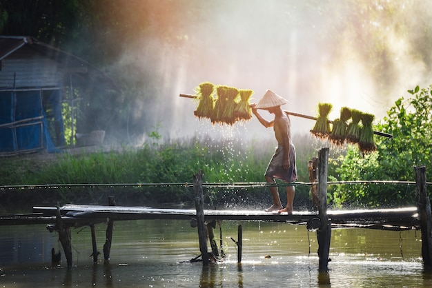 Sirva al granjero tailandés sosteniendo al bebé del arroz en el hombro que camina en las tierras de labrantío asia de la planta del puente de madera Foto Premium