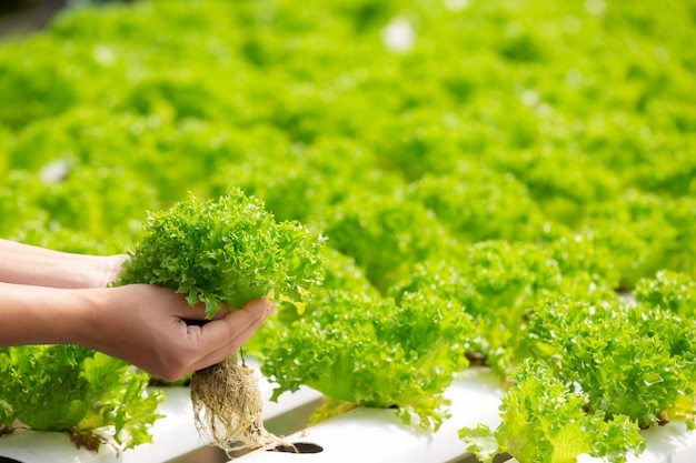 Sistema de hidroponía, siembra de vegetales y hierbas sin usar tierra para la salud. Foto gratis