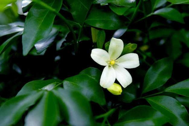 Solo orang jessamine que florece entre las ramas. solo andaman satinwood están floreciendo. Foto Premium
