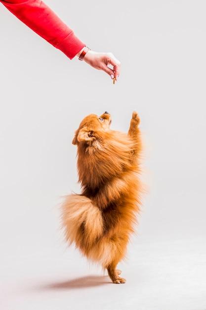 Spitz rojo parado sobre sus patas traseras tomando comida de la mano de la mujer Foto gratis