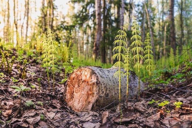 Tala de árboles. brotes jóvenes en lugar de un árbol talado. telón de fondo  de bosque verde atmosférico con exuberante musgo. textura de bosque | Foto  Premium