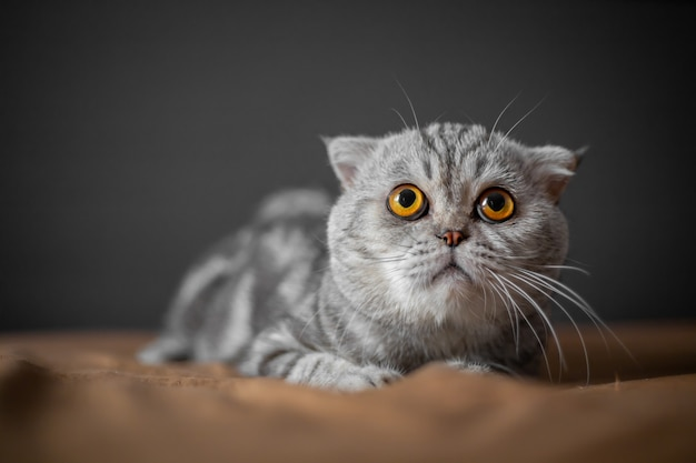 Tan lindo del gato escocés doble. Foto Premium