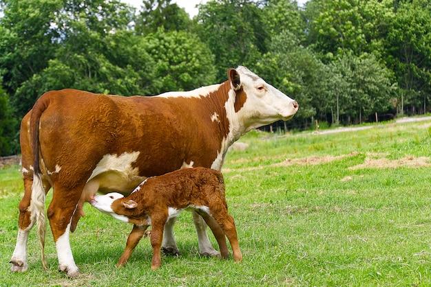 Ternero bebiendo leche de la madre. vaca con ternero recién nacido en la hierba verde del prado. Foto Premium