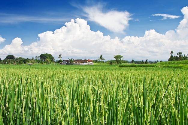 Terraza de arroz de belleza Foto Premium