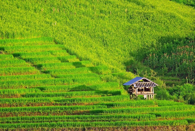 Terraza Campo De Arroz Tailandia Foto Premium