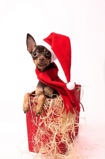 Terrier cachorro en una caja roja de navidad. Foto Premium