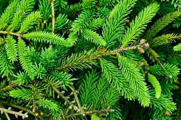 textura del árbol de pino Foto Gratis
