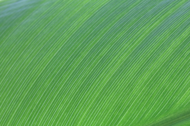 Textura de línea de big leaf en selva tropical Foto Premium