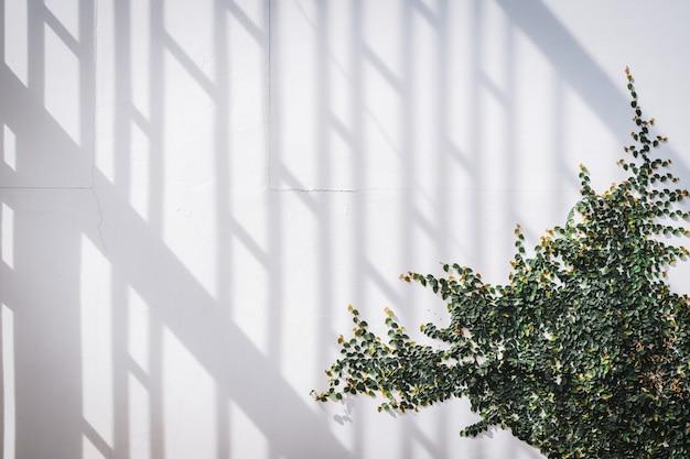 Textura de pared blanca con planta trepadora verde Foto Premium