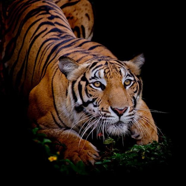 Tigre mirando a su presa y listo para atraparla. Foto Premium