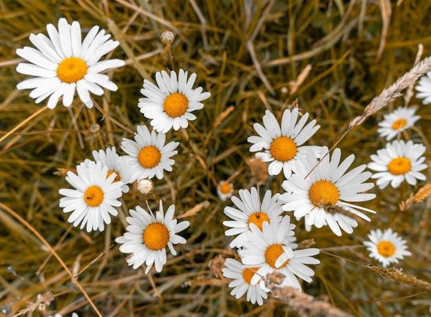 Tiro de alto ángulo de hermosas flores de margarita en un campo cubierto de hierba Foto gratis