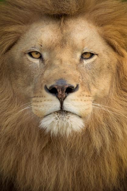 Tiro vertical de un magnífico león Foto gratis
