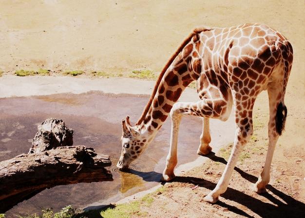 Toma horizontal de una jirafa bebiendo agua en el recinto de animales africanos Foto gratis