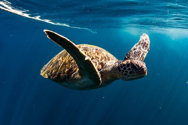 Tortuga nadar en el mar azul Foto Premium