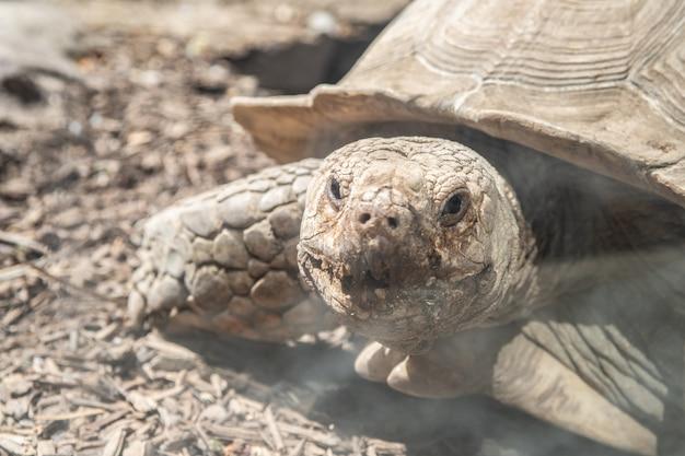 Tortuga de tierra mirando fijamente, tortuga grande protegida linda Foto Premium