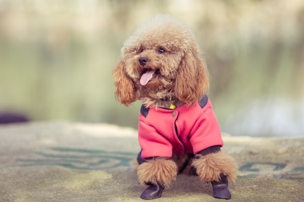 Toy poodle jugando en un parque Foto gratis