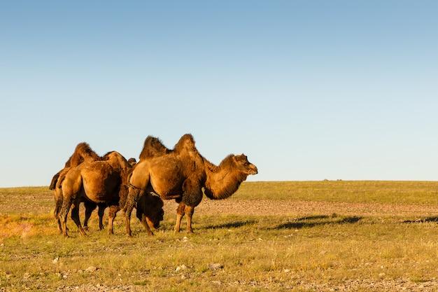 Tres camellos de dos jorobas Foto Premium
