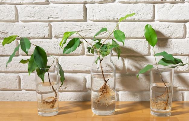 Tres vasos con agua y planta de esquejes. Foto Premium