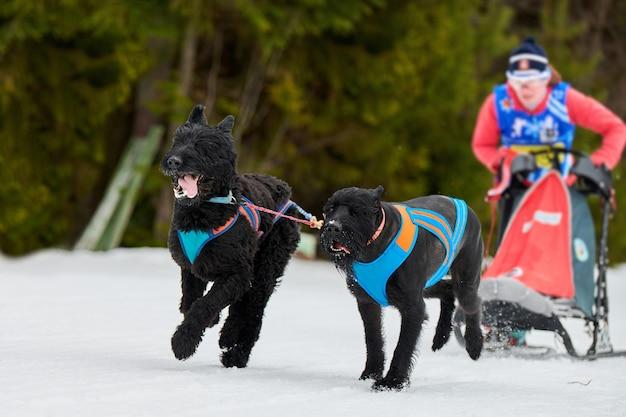 Trineo de perros mushing en invierno Foto Premium